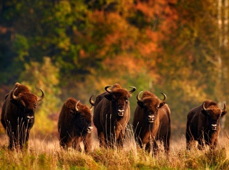 Tras el Rastro del Bisonte Europeo