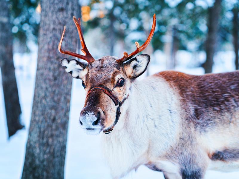 Laponia - Navidad en Levi - Salida desde Barcelona
