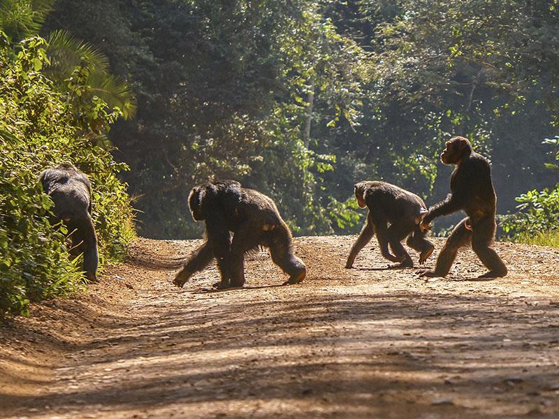 Parques de Uganda con Budongo