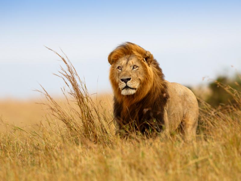 Safari Twiga